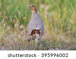 gray partridge sings spring ... | Shutterstock . vector #395996002