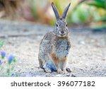 Wild Cotton Tail Rabbit