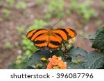 Tiger Butterfly Dryadula...