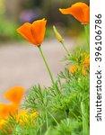 California Golden Poppies Macr...