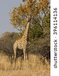 a giraffe in a south african... | Shutterstock . vector #396114136