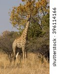 a giraffe in a south african... | Shutterstock . vector #396114166