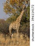 a giraffe in a south african... | Shutterstock . vector #396114172