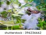 Small photo of Frog in a pond looking out of the water, ranidae, side view