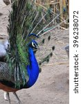 Small photo of Beautiful Peacock genera Pavo or Afropavo Phasianidae birds full of color and life