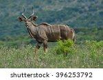 Young Male Kudu Antelope