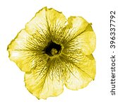 Small photo of Yellow althea flower macro isolated on white