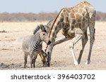 zebra and giraffe  seen and... | Shutterstock . vector #396403702