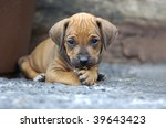 Young Rhodesian Ridgeback puppy playing in the garden - stock photo