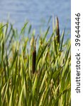 photo of a cattails against water background - stock photo