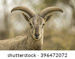 young male bharal or himalayan... | Shutterstock . vector #396472072