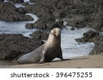 Male Northern Elephant Seal At...