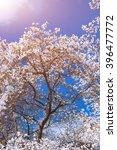 white magnolia flowers in...   Shutterstock . vector #396477772