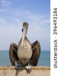 a brown pelican  pelecanus... | Shutterstock . vector #396493186