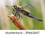 Four Spotted Chaser Libellula...