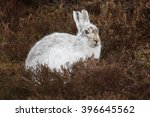 Stock photo the mountain hare lepus timidus also known as blue hare tundra hare variable hare white hare 396645562