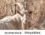 Small photo of Up Close portrait of a Saanen billy goat grazing on some dry grass while looking at the viewer.