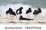 Oystercatcher In Natural...