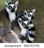 ring tailed lemur  | Shutterstock . vector #396757792