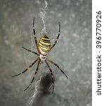 The Wasp Spider  Argiope...