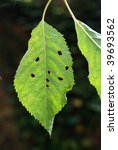 Nibbled Green Leaf