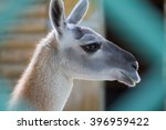 lama in zoo behind the fence | Shutterstock . vector #396959422