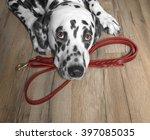 Stock photo dog wants to walk and wait near the leash 397085035