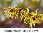 hamamelis or witch hazel in... | Shutterstock . vector #397110595