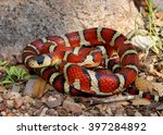 Brightly colored Arizona Mountain Kingsnake, Lampropeltis pyromelana, a Coral Snake mimic, coiled in its habitat