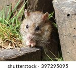 close up of a wild brown rat | Shutterstock . vector #397295095