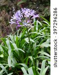 Small photo of African lily, (Agapanthus africanus)