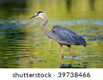 Great Blue Heron Looking For I...