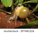 Common Lesser Toad Calling