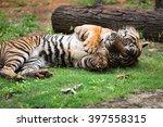 sumatran tiger rolling | Shutterstock . vector #397558315