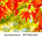 Red Maple Leaves In Autumn In...