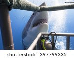 Great White Shark Showing Its...
