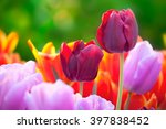 Tulips Of Multi Colored Flower...