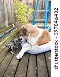 Large Boxer Mix Dog Meeting...