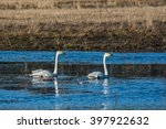 whooper swans | Shutterstock . vector #397922632