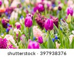 Violet Tulips As Main Flower I...