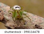 Araneus Mitificus   Orb Weaver...