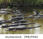 Group Of American Alligators ...