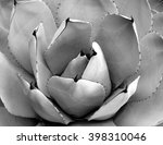Small photo of Agave parryi close up in black and white