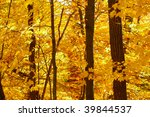 Golden wall of maple leaves lit up in the sun - stock photo