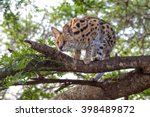Serval In A Tree At Kruger