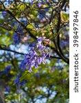 Small photo of Jacaranda Background. (Jacaranda mimosifolia) Guatemala
