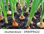 Close Up Of Onion Plantation I...
