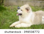 Standing White Cute Dog. White...