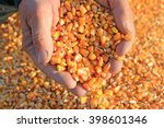 corn grain in a hand after good ... | Shutterstock . vector #398601346