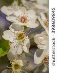 apple tree blossom  | Shutterstock . vector #398609842